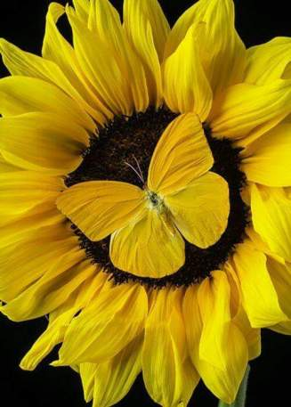 yellow-sunflower-butterfly